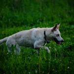 Vit herdehund - Alice & Alma - MxCarro.se